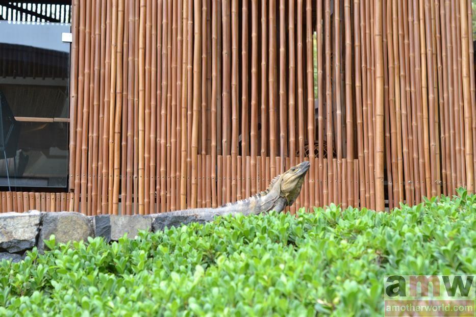 Andaz Costa Rica wildlife iguana